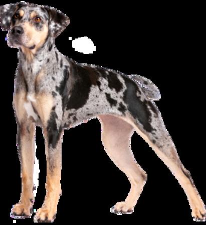 Bild für Kategorie Catahoula Leopard Dog