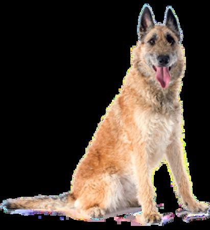 Bild für Kategorie Belgischer Schäferhund - Laekenois