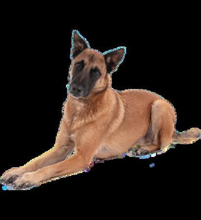 Bild für Kategorie Belgischer Schäferhund - Malinois