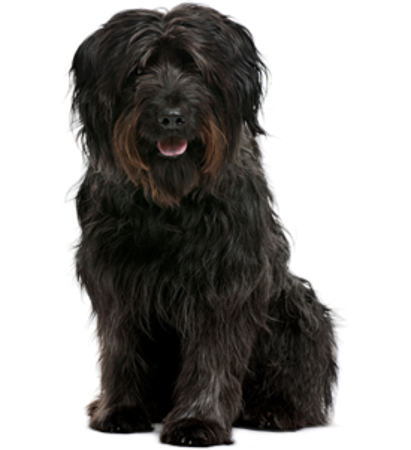 Bild für Kategorie Katalanischer Schäferhund
