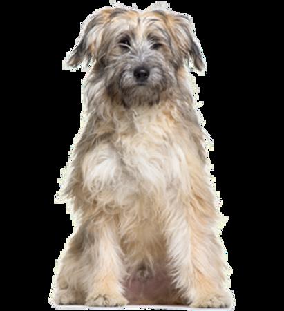Bild für Kategorie Pyrenaen Schaferhund