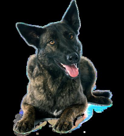 Bild für Kategorie Holländischer Schäferhund