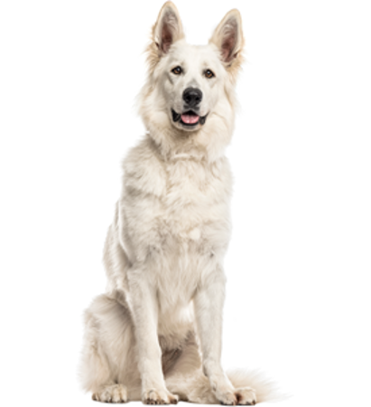 Bild für Kategorie Weisser Schweizer Schäferhund