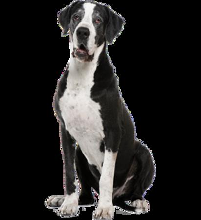 Bild für Kategorie Deutsche Dogge