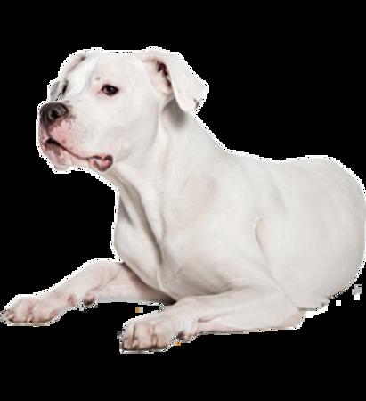 Bild für Kategorie Argentinische Dogge
