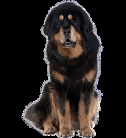 Bild für Kategorie Tibetan Mastiff (Do Khyi)