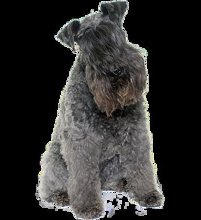 Bild für Kategorie Kerry Blue Terrier
