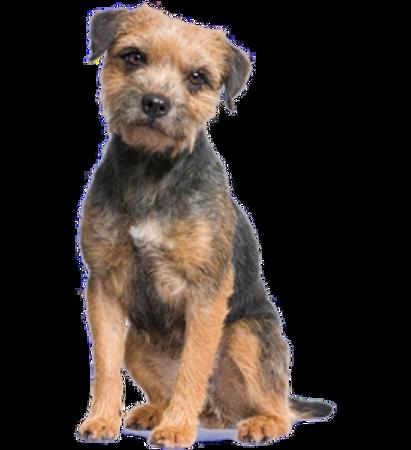 Bild für Kategorie Border Terrier