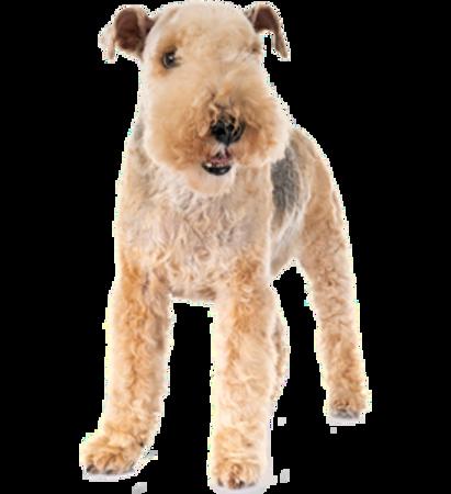 Bild für Kategorie Lakeland Terrier