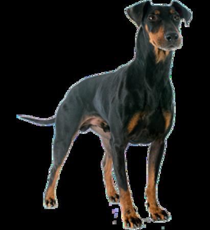Bild für Kategorie Manchester Terrier