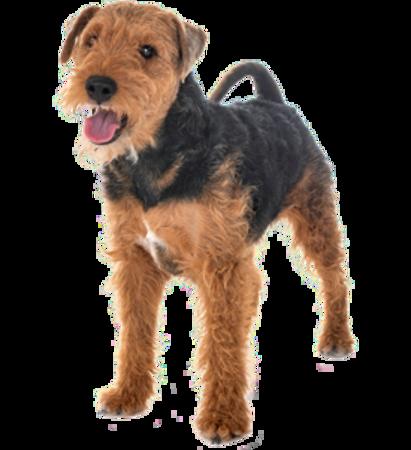 Bild für Kategorie Welsh Terrier