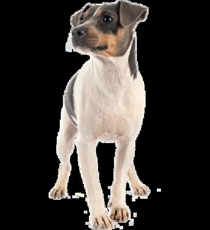 Bild für Kategorie Brasilianischer Terrier