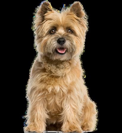 Bild für Kategorie Cairn Terrier
