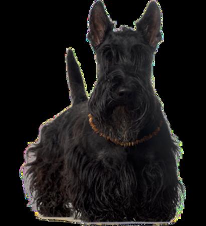 Bild für Kategorie Schottischer Terrier