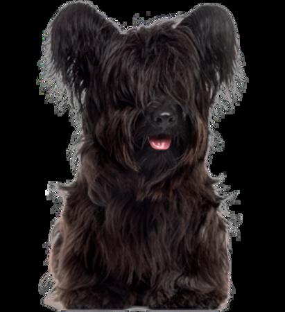 Bild für Kategorie Skye Terrier