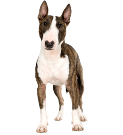 Bild für Kategorie Bull Terrier