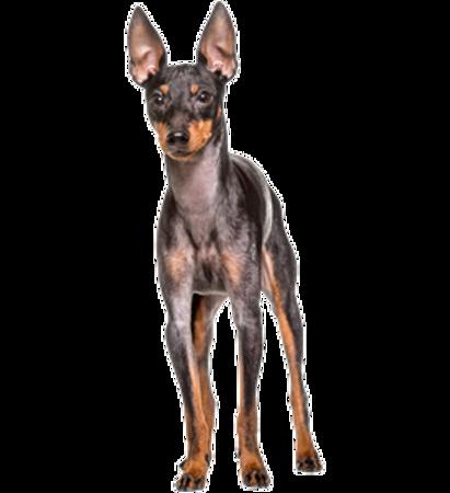 Bild für Kategorie Englischer Toy Terrier