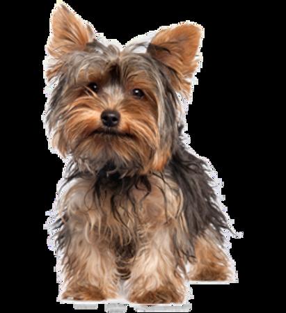 Bild für Kategorie Yorkshire Terrier
