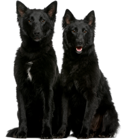 Bild für Kategorie Groenlandhund