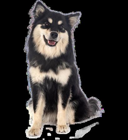 Bild für Kategorie Finnischer Lapphund