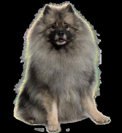 Bild für Kategorie Wolfsspitz (Keeshond)