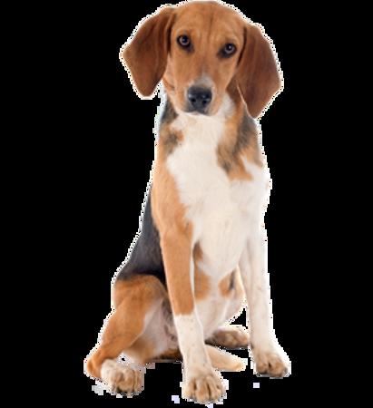 Bild für Kategorie Beagle-Harrier