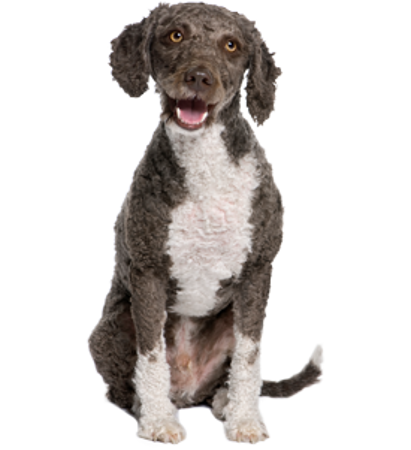 Bild für Kategorie Spanischer Wasserhund