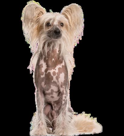 Bild für Kategorie Chinesischer Schopfhund