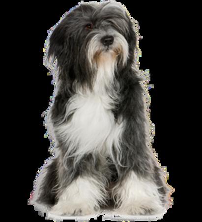 Bild für Kategorie Tibet Terrier
