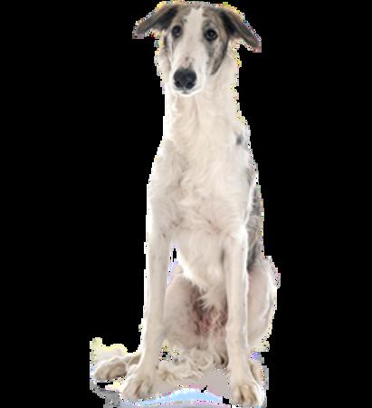Bild für Kategorie Barsoi - Russischer Jagdwindhund