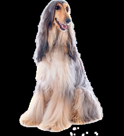 Bild für Kategorie Afghanischer Windhund