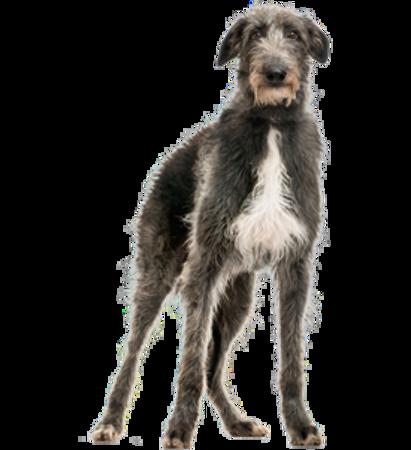 Bild für Kategorie Schottischer Hirschhund