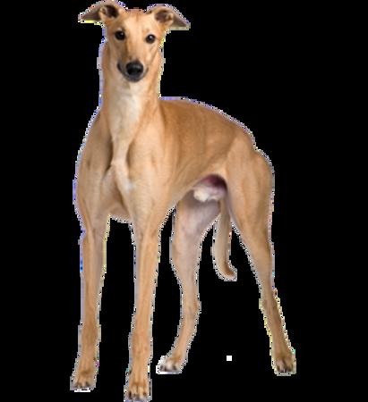 Bild für Kategorie Greyhound