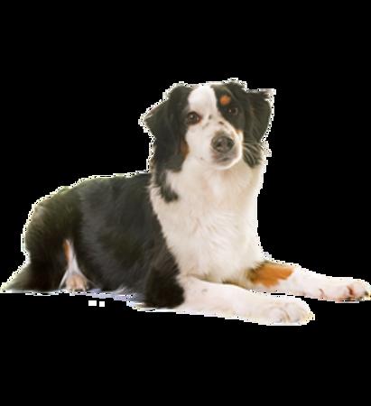 Bild für Kategorie Australischer Schaferhund- Toy