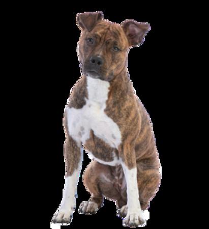 Bild für Kategorie American Staffordshire Terrier