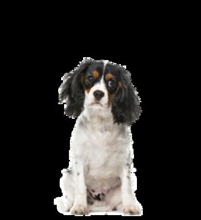 Bild für Kategorie Cavalier King Charles Spaniel
