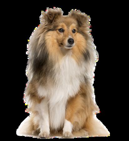 Bild für Kategorie Shetland Sheepdog